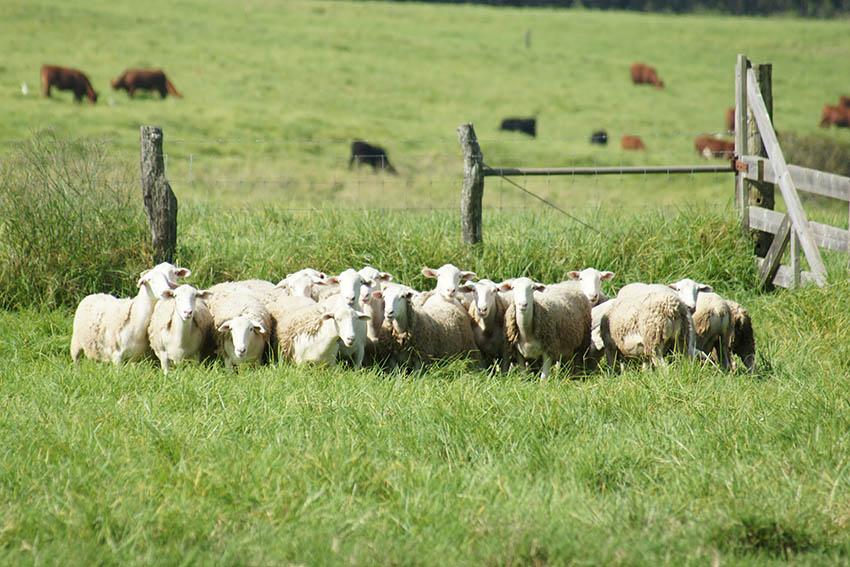 maui cattle ranching